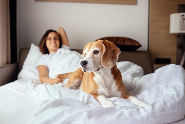Σκύλος Μπιγκλ στο κρεβάτι