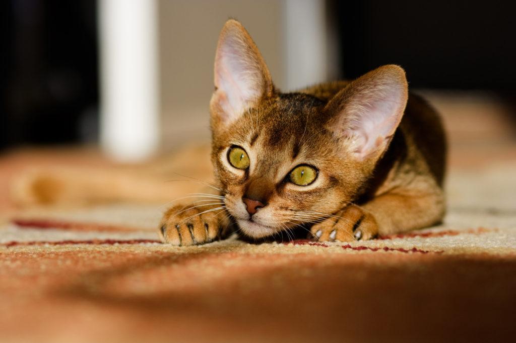 Γάτα Αβησσυνίας