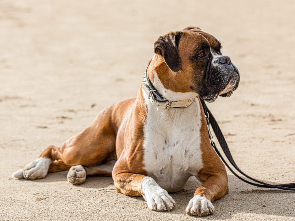 Γερμανικό Μπόξερ (Boxer) - zooplus Περιοδικό