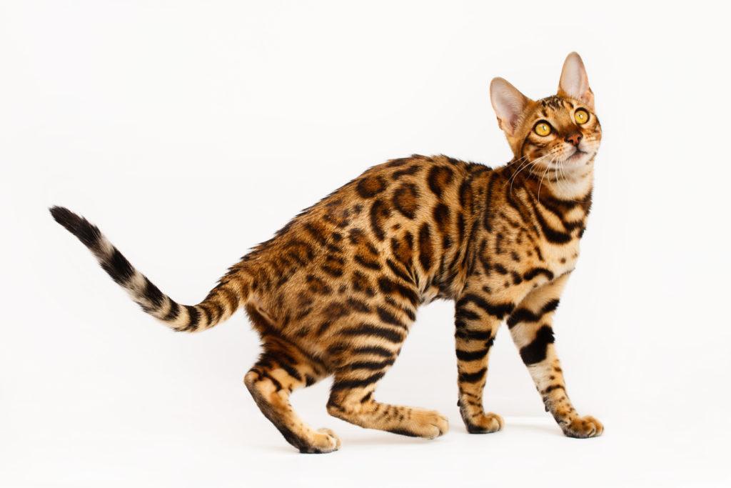 Γάτα Βεγγάλης