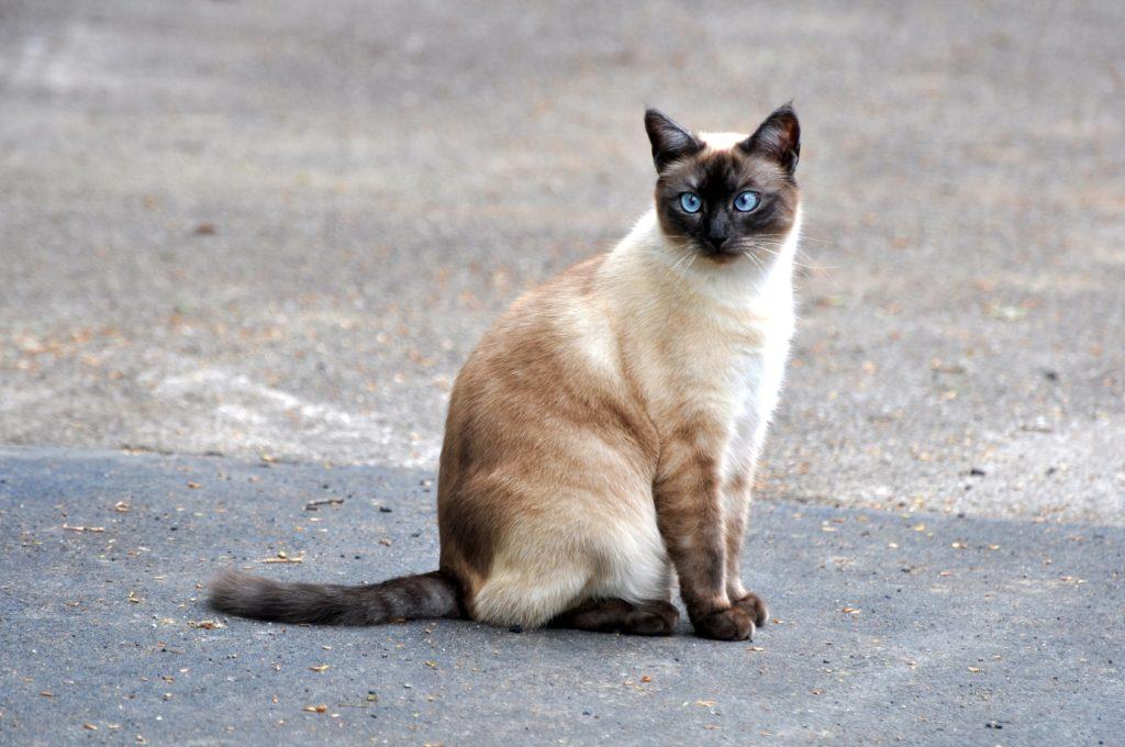 Γάτα του Σιάμ
