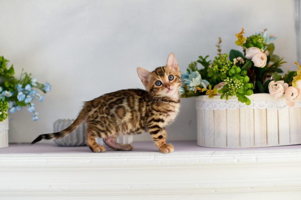 Γατάκι Βεγγάλης