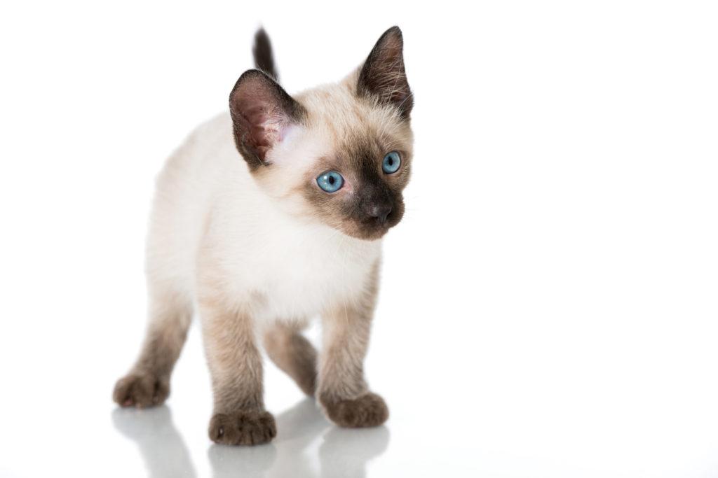 Γατάκι του Σιάμ