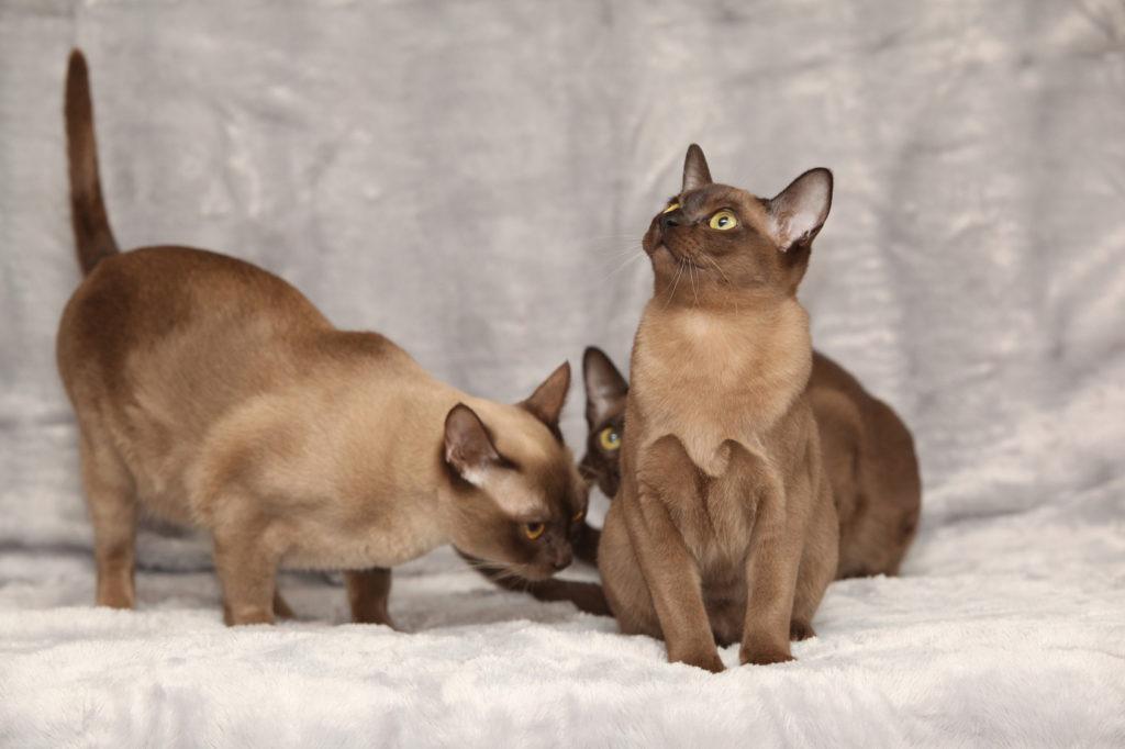 Γάτες Burmese