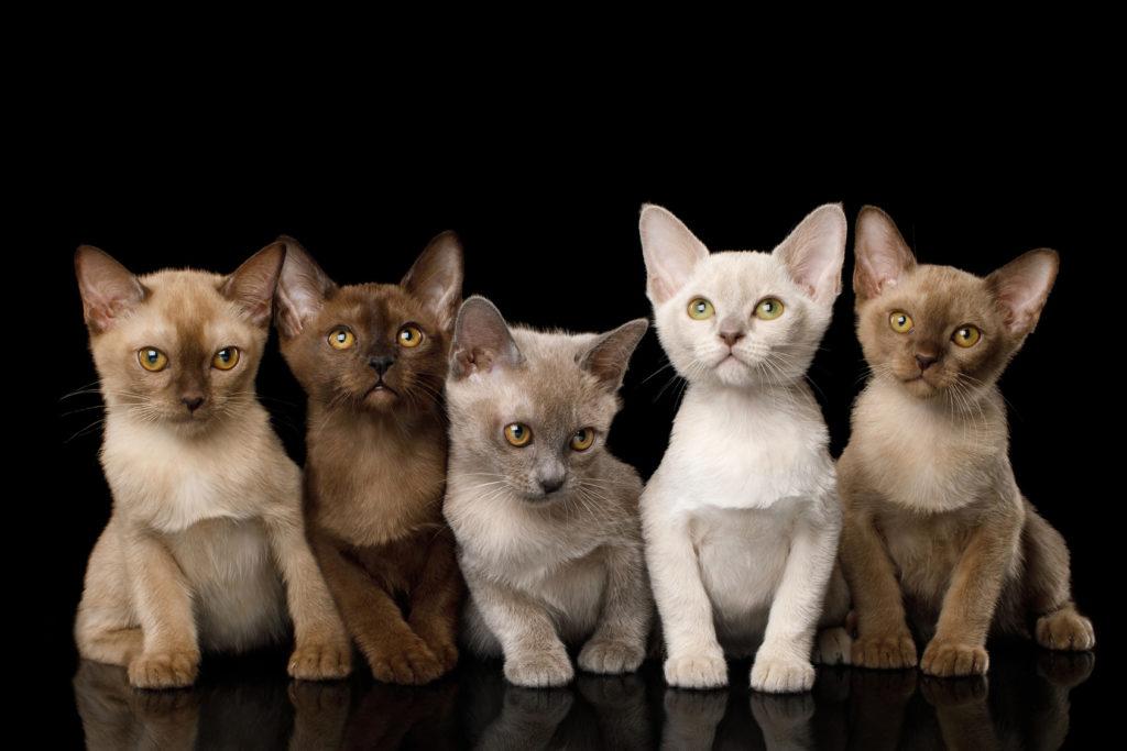 Γατάκια Burmese