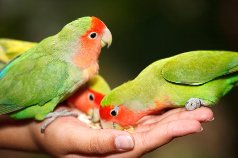 Diatrofí ton lovebirds