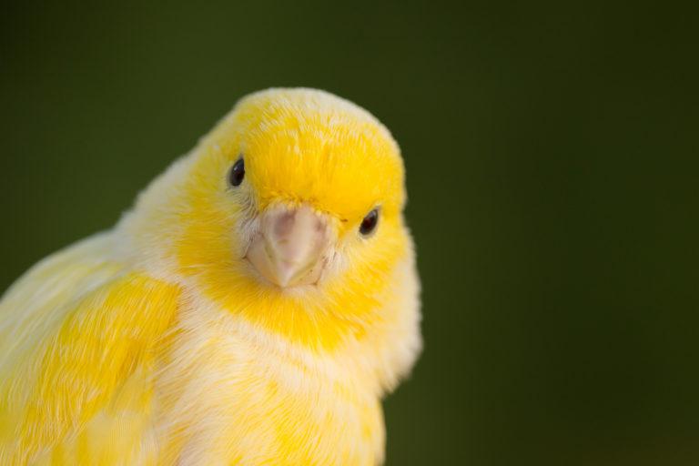 Kanarínia
