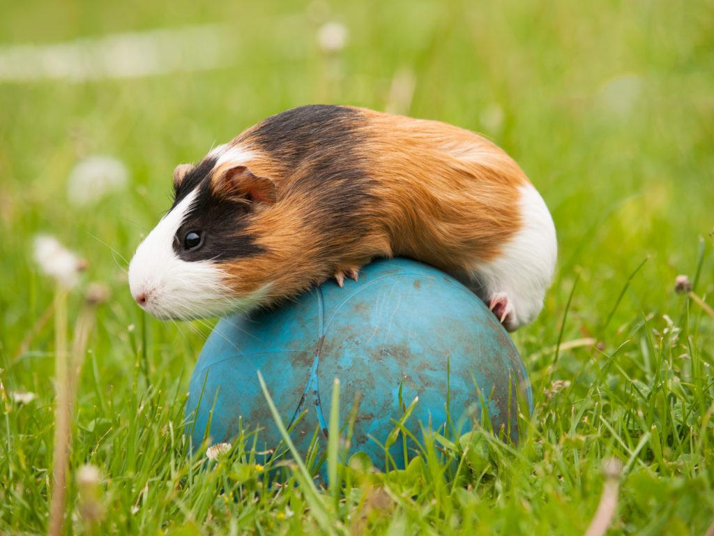 Agility για μικρά ζώα