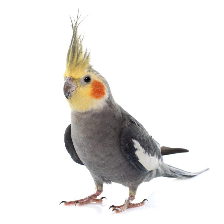 Papagáloi Kokatíl - Cockatiel