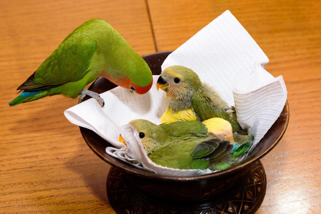 Αγαπόρνιθες (lovebirds)