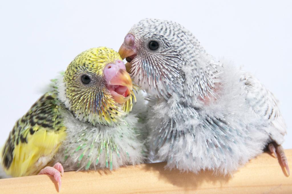 παπαγαλάκια αναπαραγωγή