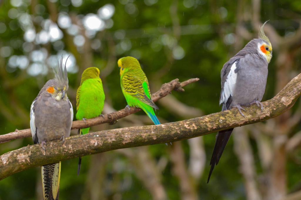 συντροφιά για παπαγαλάκια
