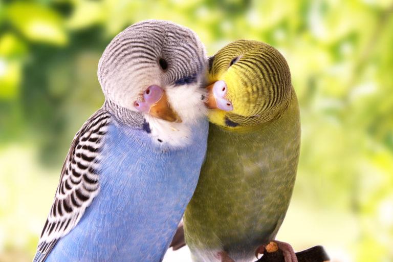 papagalákia syntrofiá