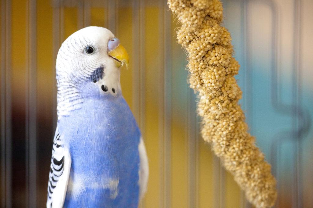 Διατροφή για παπαγαλάκια budgie