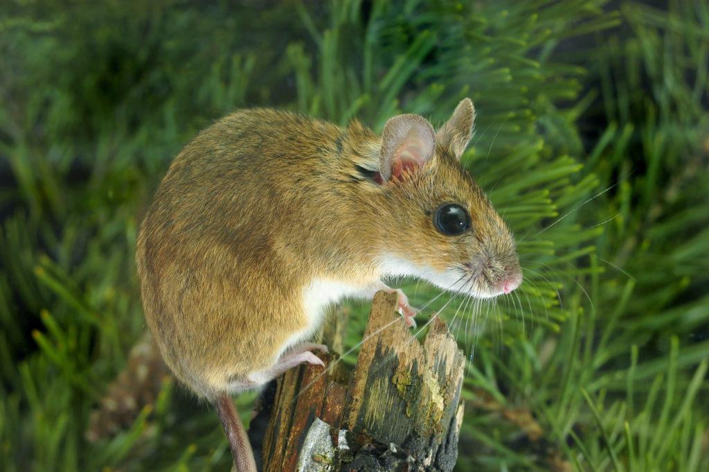 Κιτρινολαίμης Ποντικός