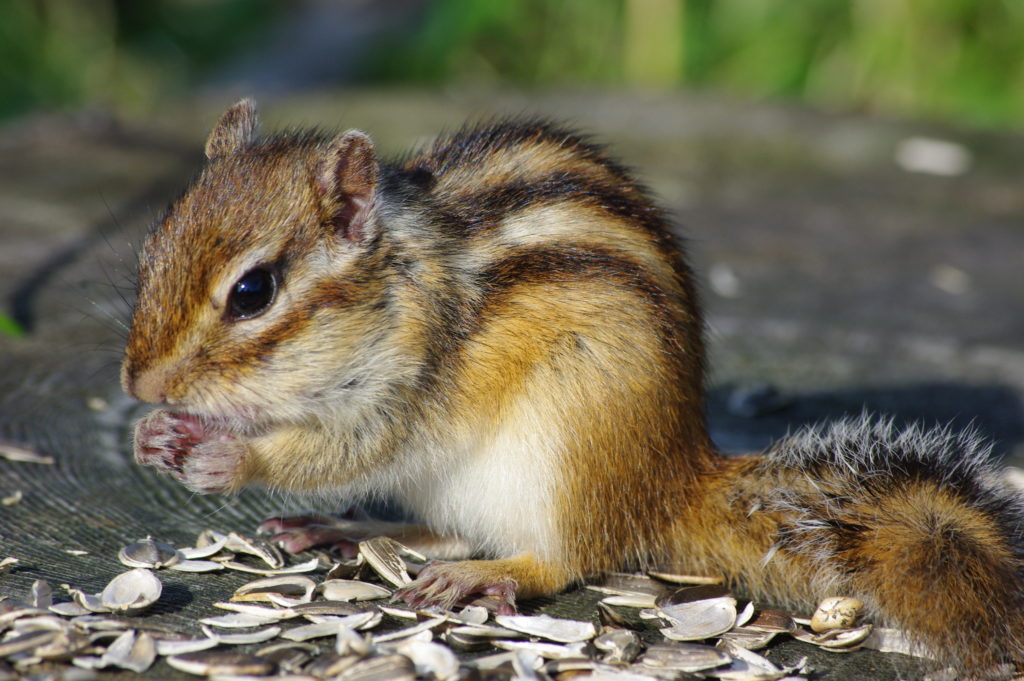 Σιβηρικός σκίουρος (Siberian chipmunk)