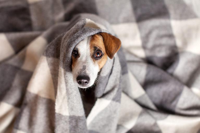 Κρύωμα σκύλου