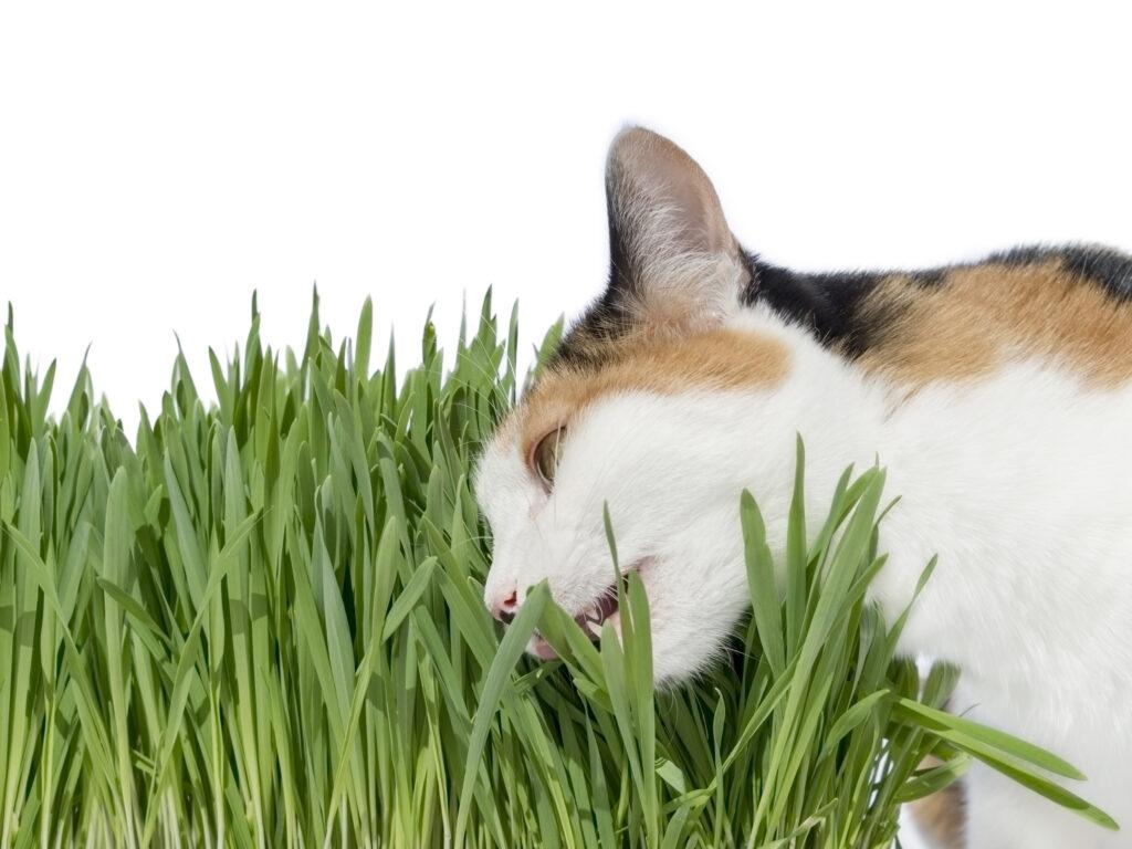 Γάτα με Βαλεριάνα