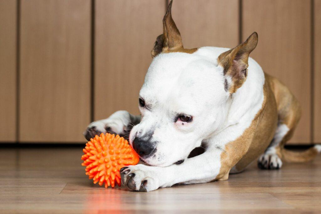 Σκύλος μασάει παιχνίδι