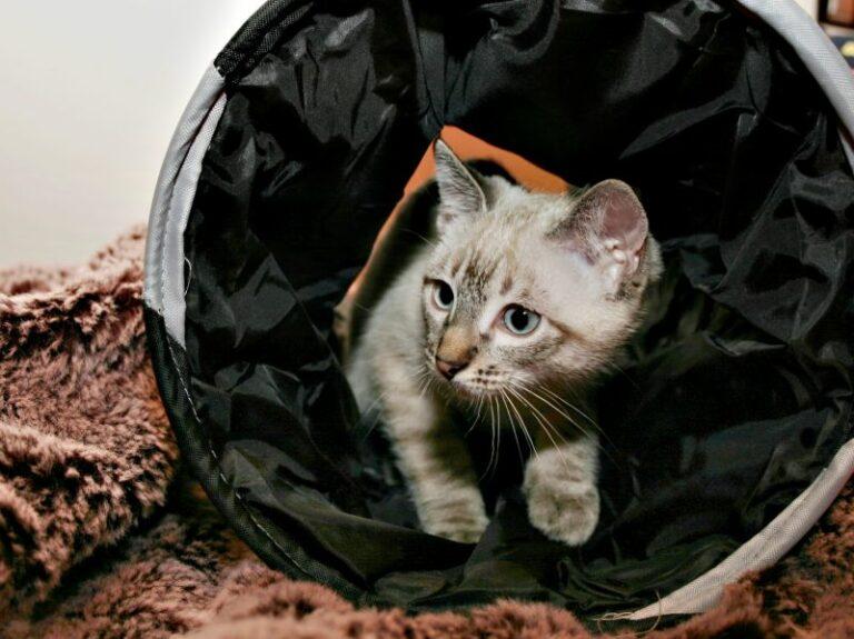 Cat Agility