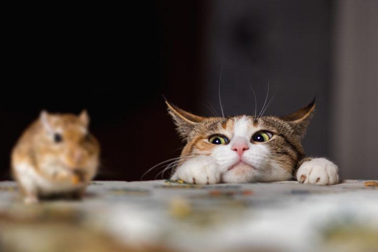 Γάτα παραμονεύει ποντίκι