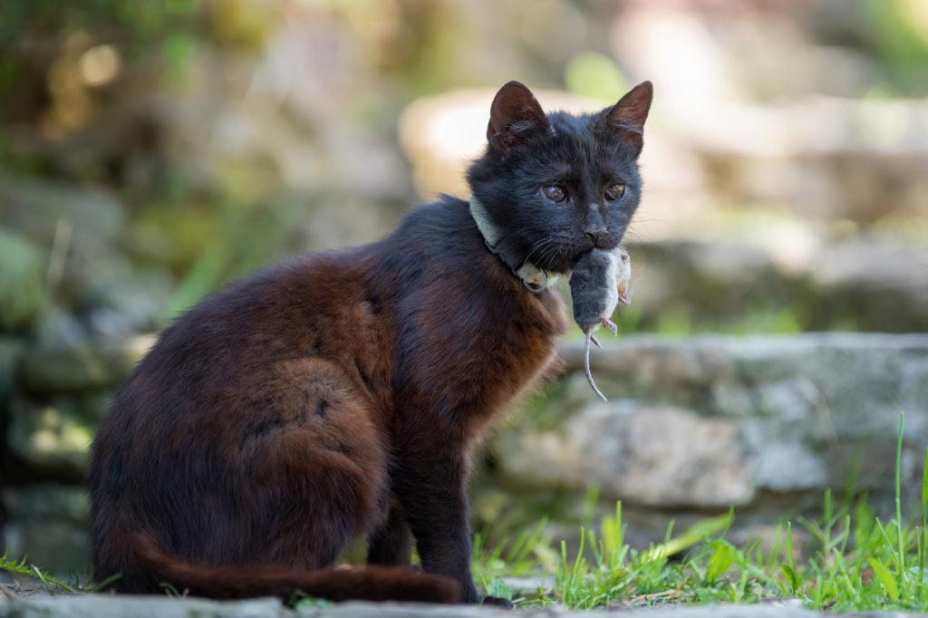 Γάτα κυνηγά ποντίκι