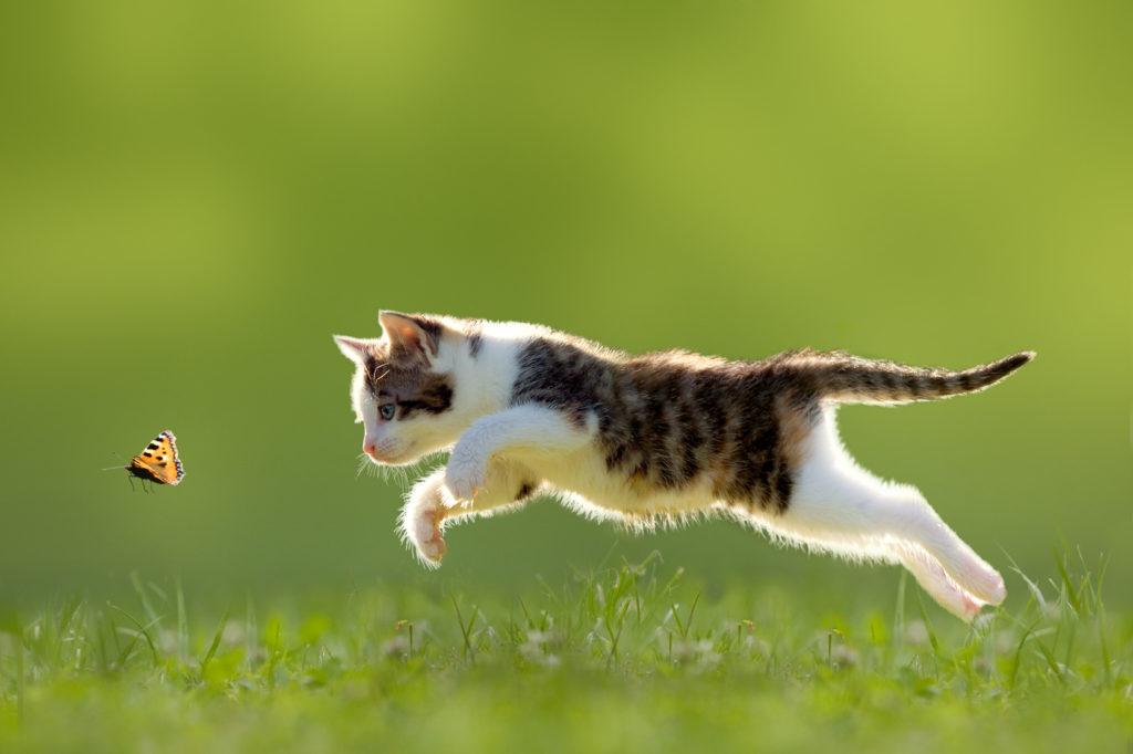 Γάτα κυνηγά πεταλούδα
