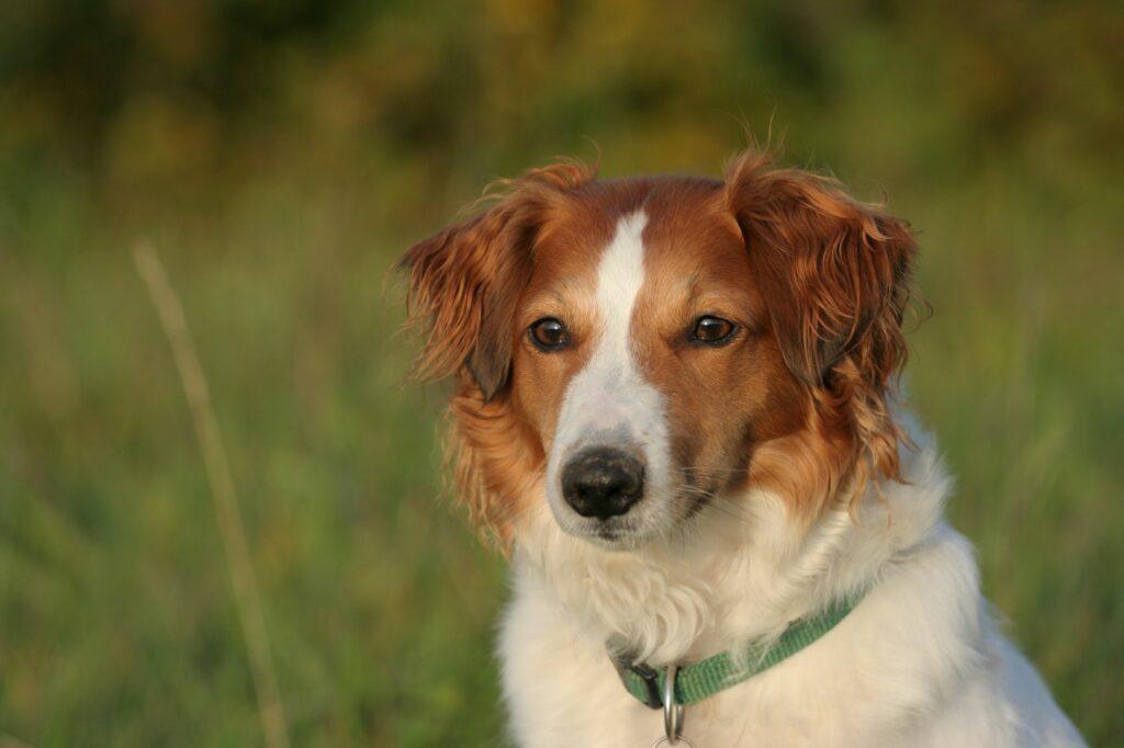 Υβριδικός σκύλος στο λιβάδι