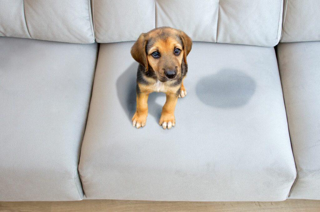 Ούρα σκύλων σε καναπέ
