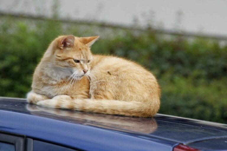 Τσίμπημα Σφήκας σε Γάτα